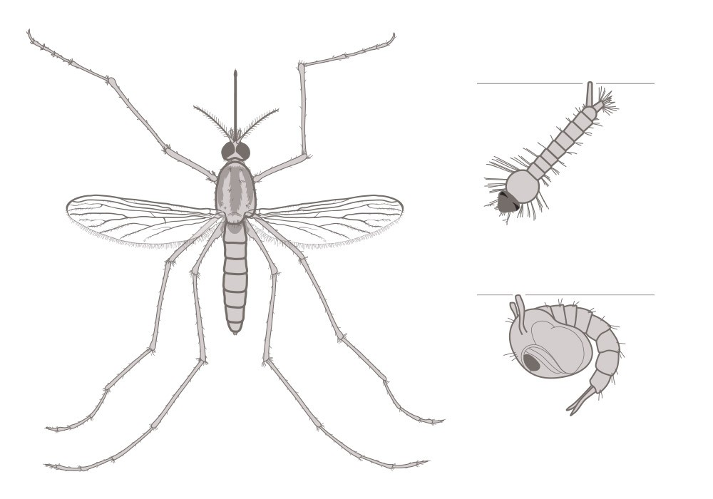 development of the mosquito: adult, larva and nymph